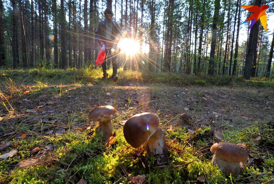 Белых грибов счастливчики набрали под Апатитами.