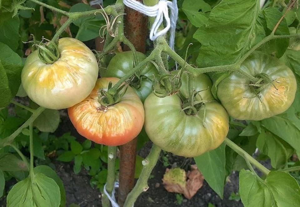 Страдают от солнца и фрукты, и овощи