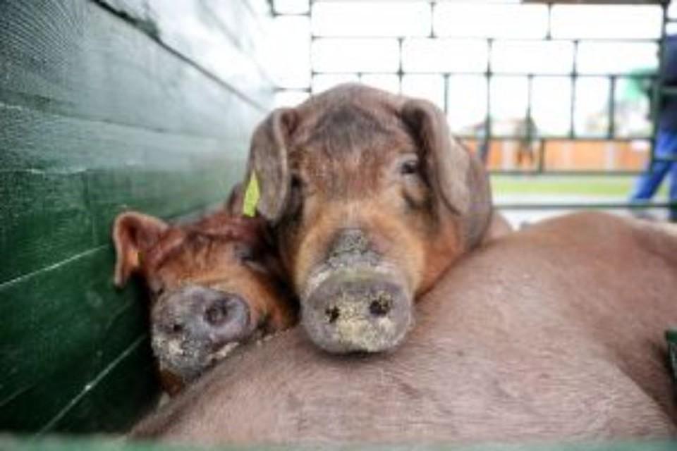 В Рыбинском районе из-за вспышки чумы собираются уничтожать свиней