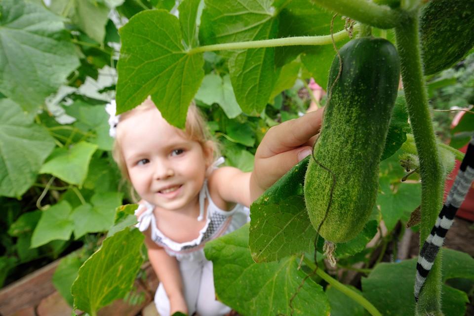 Ультраскороспелые сорта огурцов могут порадовать урожаем в конце сентября.