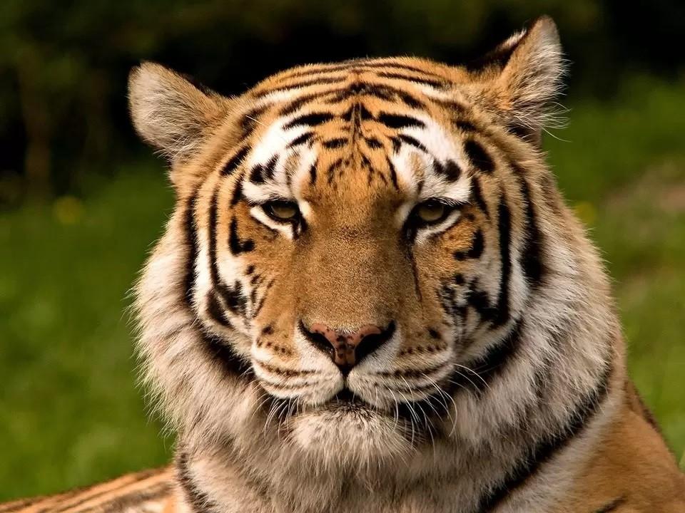Амурский тигр - краснокнижное животное Фото: wikimedia.org