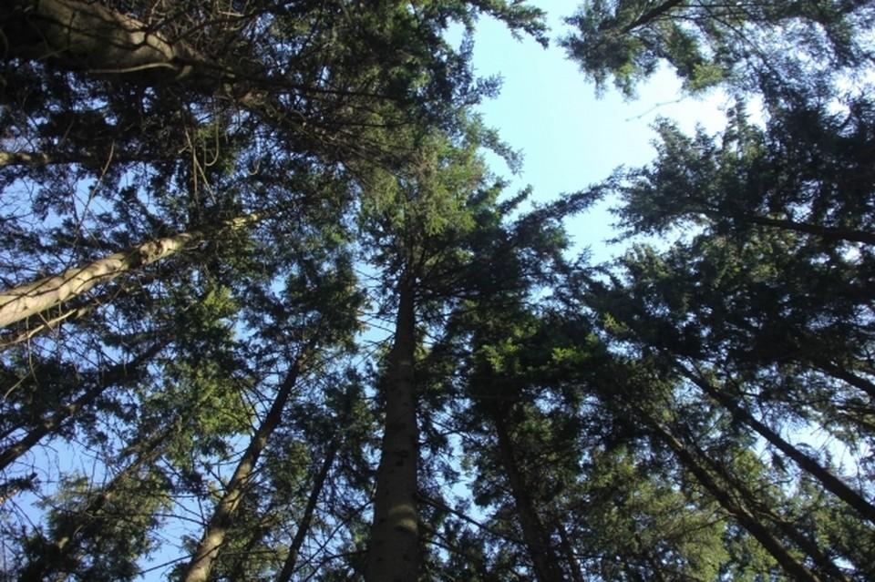 В суд направлено уголовное дело о незаконной рубке деревьев.