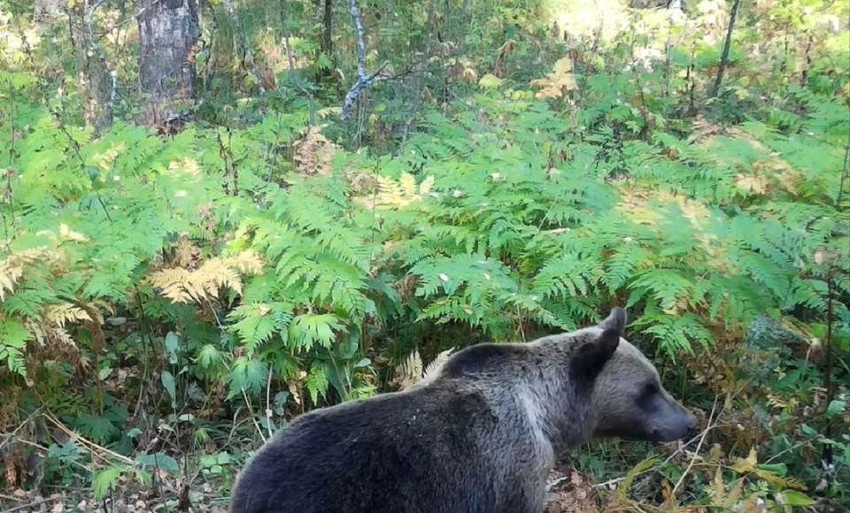 """Медведь разыскивал лакомства в лесу. Фото: нацпарк """"Таганай"""""""