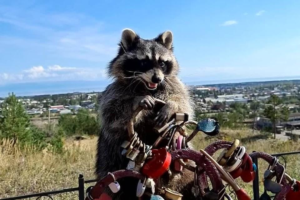 Енот Витя. Фото: страница в соцсети raccoon.vitya