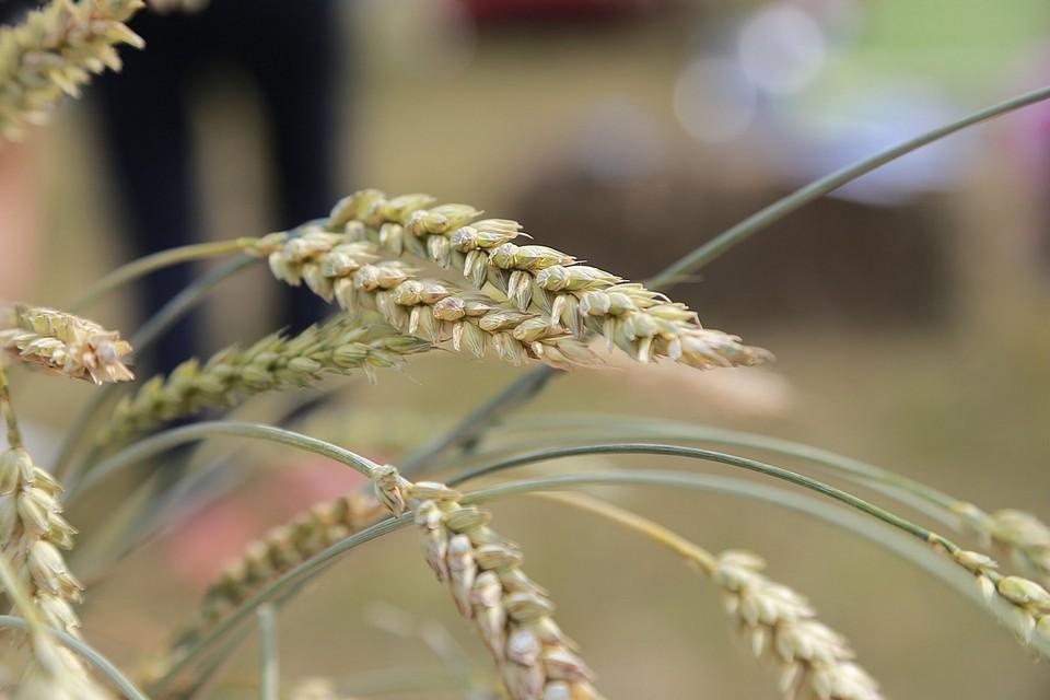 Объем нового урожая зерновых превысил показатели 2020 года