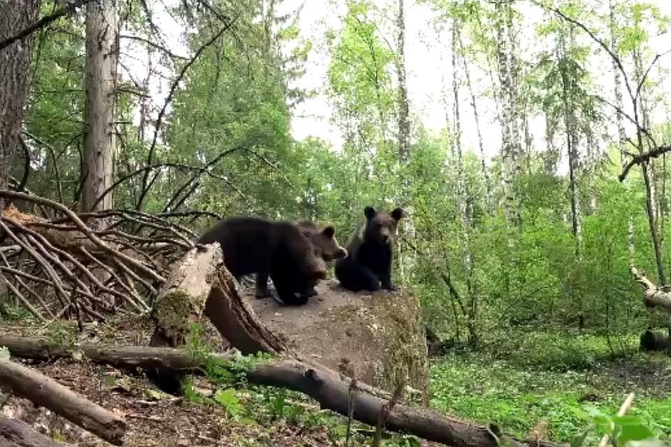 Мишки в лесу... Фото: VK/Центр спасения медвежат-сирот/скрин видео