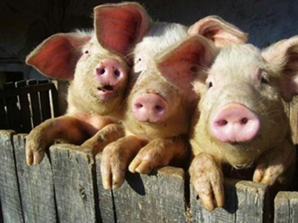 Тысячи свиней из хозяйства Ильиногорского мясокомбината не будут уничтожены из-за АЧС.