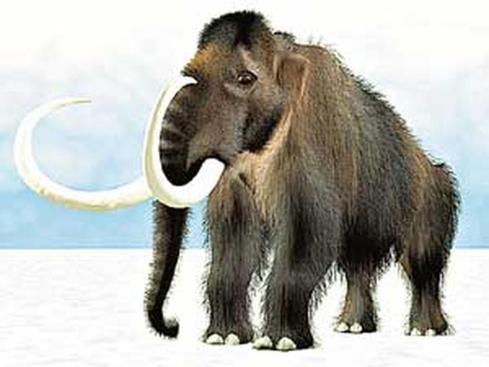Найденный в Якутии мамонтенок мог вырасти в такого гиганта.