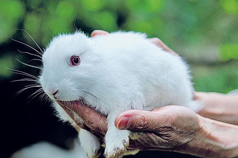 В мае 2011 года рядом с Фукусимой родился кролик без ушей.