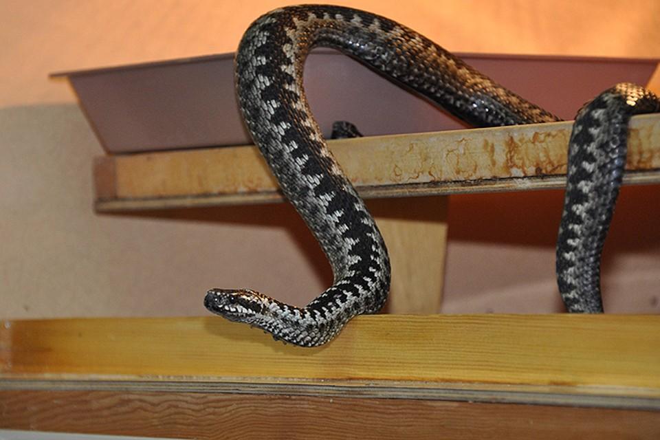 Весь змеиный яд, который добывают новосибирцы, расходится как у нас в стране, так и за рубежом.