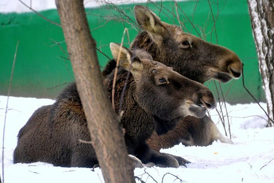 Три лося пришли из Лосиного острова к дому 25 корп 14 на Открытом шоссе