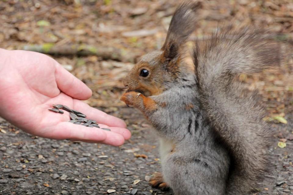 Обычно белок никто не обижает, только прикармливают орешками, семечками или яблоками.