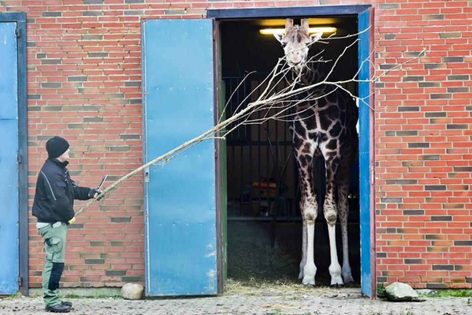 Мариус будет убит, как только в зоопарке появится самка