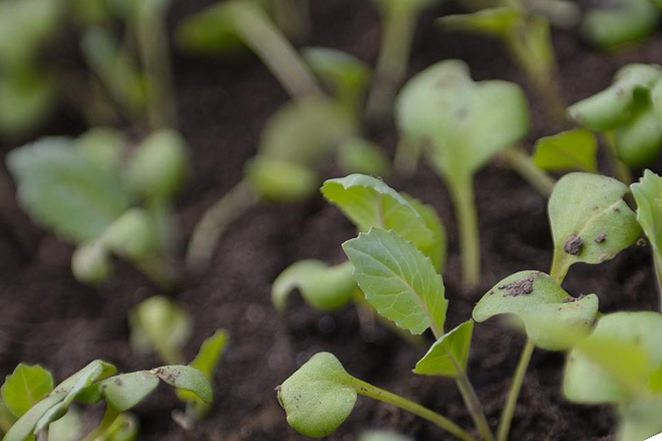 """Полезное соседство на дачном участке может улучшить урожай, а несовместимость даже сгубить растения. Какие же из них любят друг друга, а какие категорически не """"переваривают""""? Особенно важно узнать это сейчас, в период высаживания рассады"""
