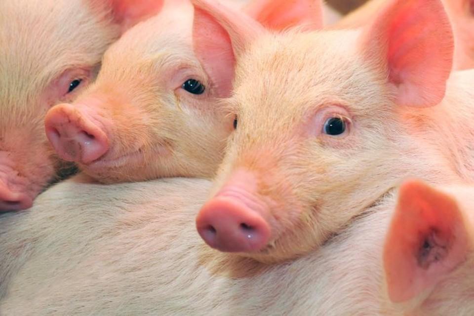 Президент приказал животноводам охранять свинок, как ядерные объекты.