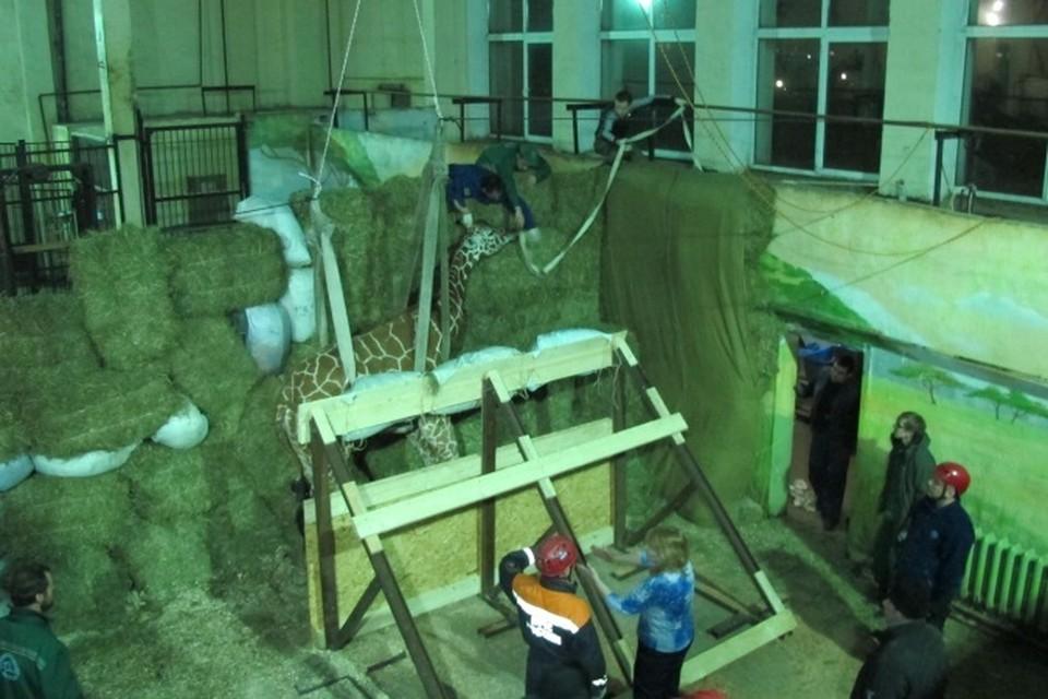Упал и не смог встать: в Калининградском зоопарке умер жираф