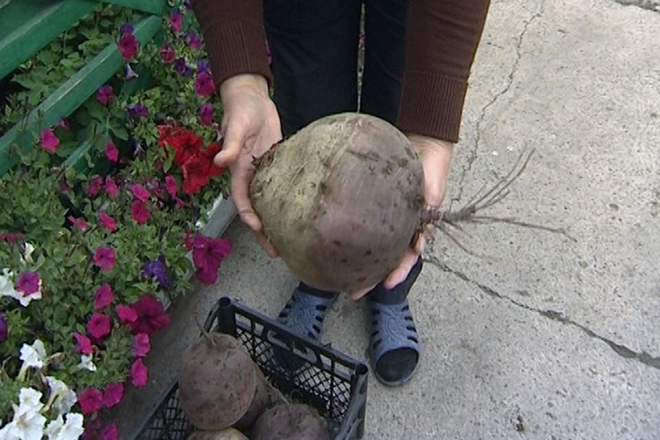В Хакасии вырастили килограммовую картофелину и свеклу весом в 2,5 кило!