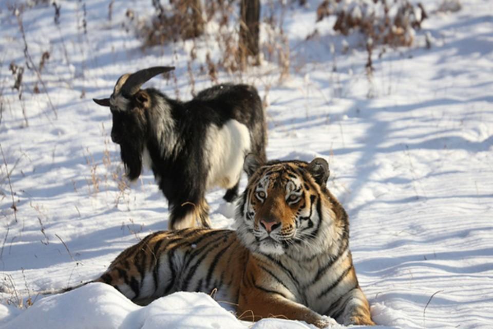 Животные просто дружат. Фото: safaripark25.ru