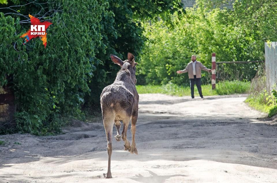 17 мая в Самаре пытались поймать дикого лося.
