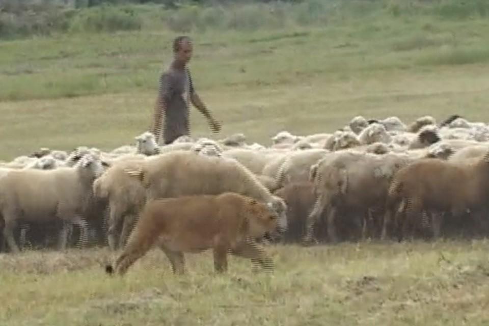 Львица Маша пасет стадо овец. Фото: РГВК Дагестан.