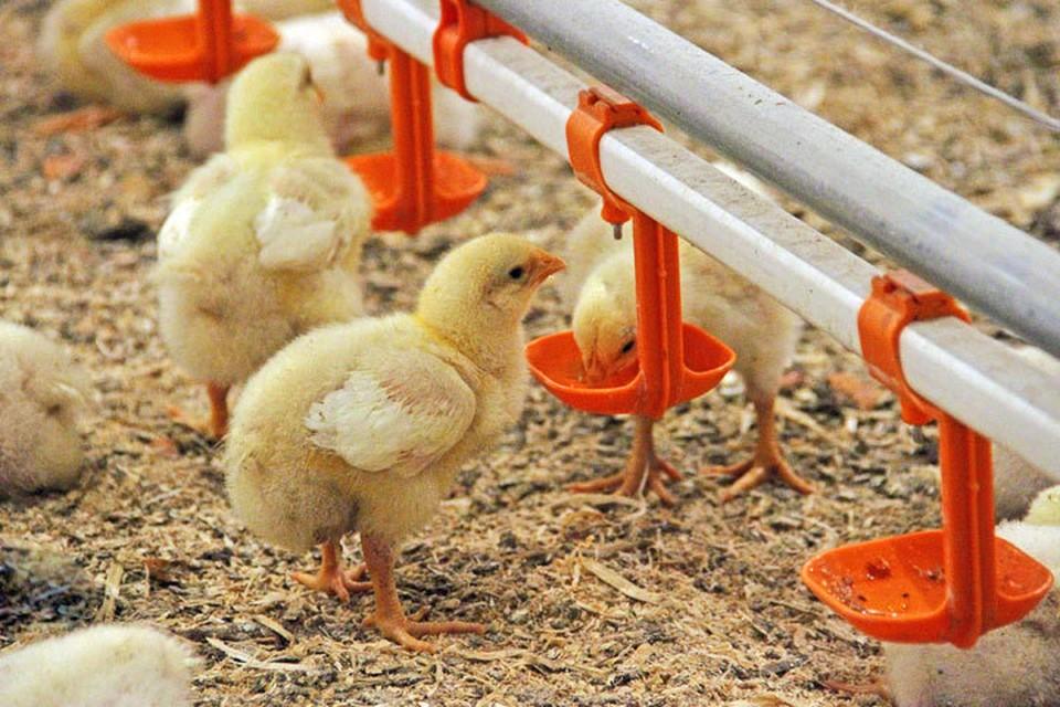 Через месяц эти цыплята станут бройлерами