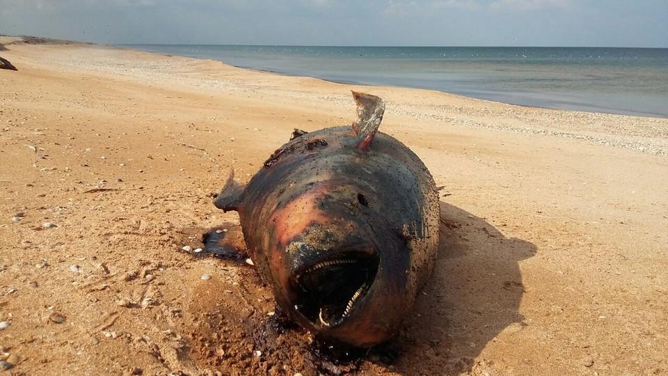 На Арабатской стрелке нашли 66 мертвых дельфинов.