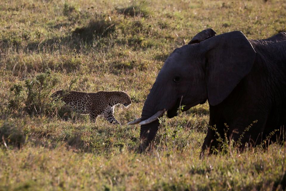 Леопард шествует мимо слона в национальном парке Маасаи Маса, Кения.