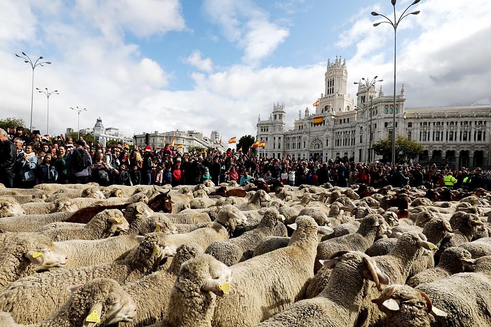 Две тысячи овец и коз прошлись по Мадриду. Животных перегоняют с северных пастбищ на более теплые южные через столицу Испании, находящуюся на древнем миграционном пути. Этой традиции уже более 600 лет