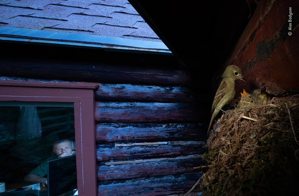 """Наблюдаю за тобой"" / Алекс Бадаев (Россия/США) / Wildlife Photographer of the year"