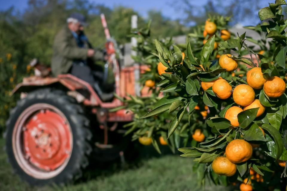 Во время сбора урожая мандаринов в поселке Веселое, Адлерский район города Сочи. Фото: Дмитрий Феоктистов/ТАСС