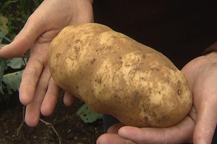 Клубни картофеля были весом, без малого, по килограмму