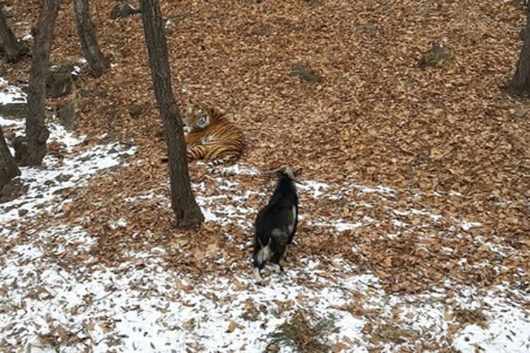 Тигр и козел всегда гуляют вместе. Фото: safaripark25.ru