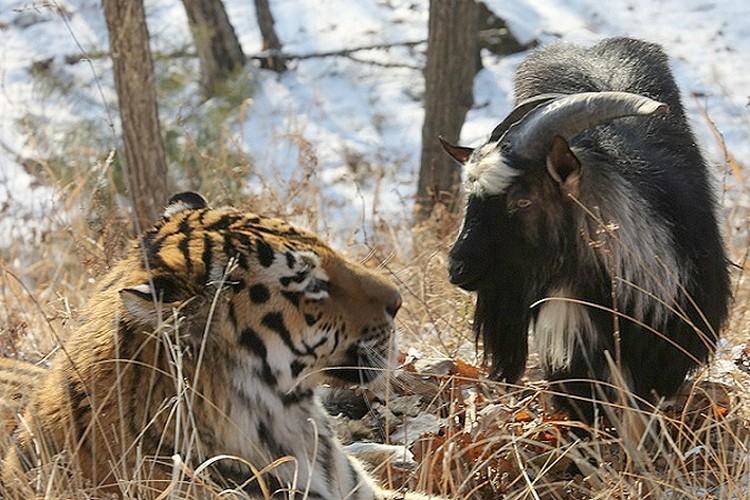 Тигр по имени Амур отказался есть поданного ему на обед козла и воспылал к рогатому самыми нежными чувствами. Козлик ответил взаимностью. Фото: Дмитрий Мезенцев