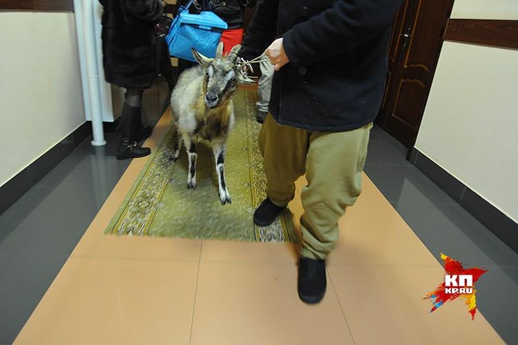 В стенах ведомства коза сильно нервничала и не спешила следовать за своим хозяином.