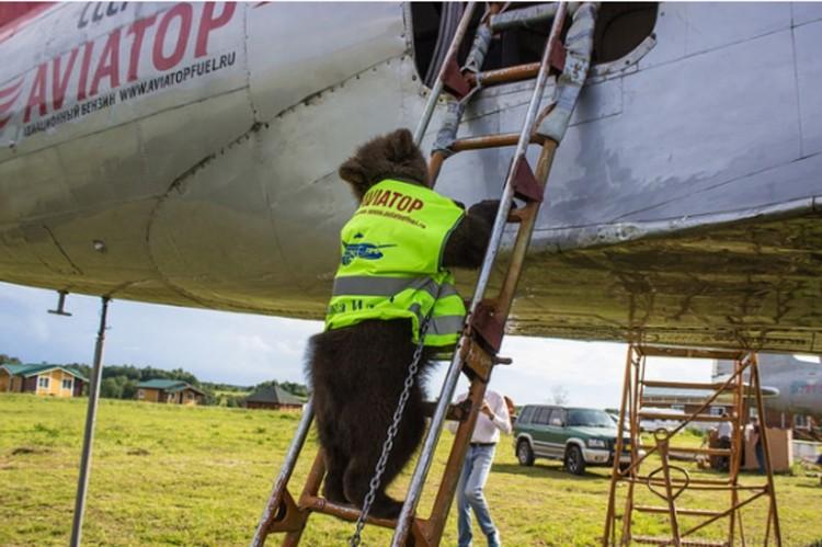 Вырос мансур в огромного медведя Фото: Тверь Андрей Иванов