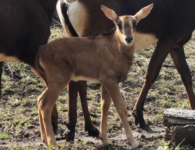 Появился теленок у краснокнижной черной антилопы. Фото: ГАУ «Московский зоопарк»