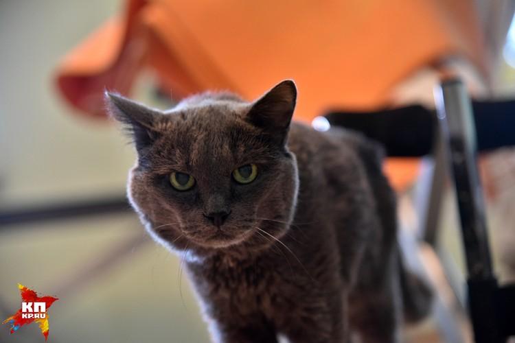Кузя – старый, суровый кот из Новосибирска. Не боится ничего кроме... бананов.