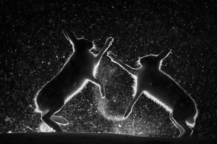 Снежная потасовка. Фотограф Эрленд Хааберг, Норвегия