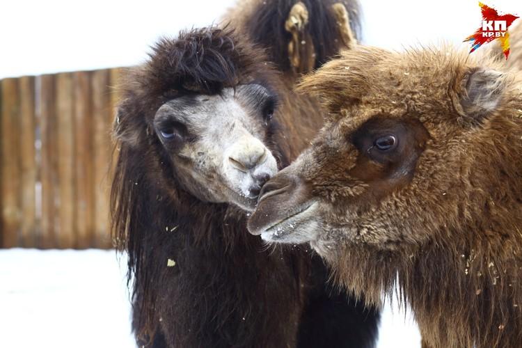 Верблюжий поцелуй в соседнем вольере