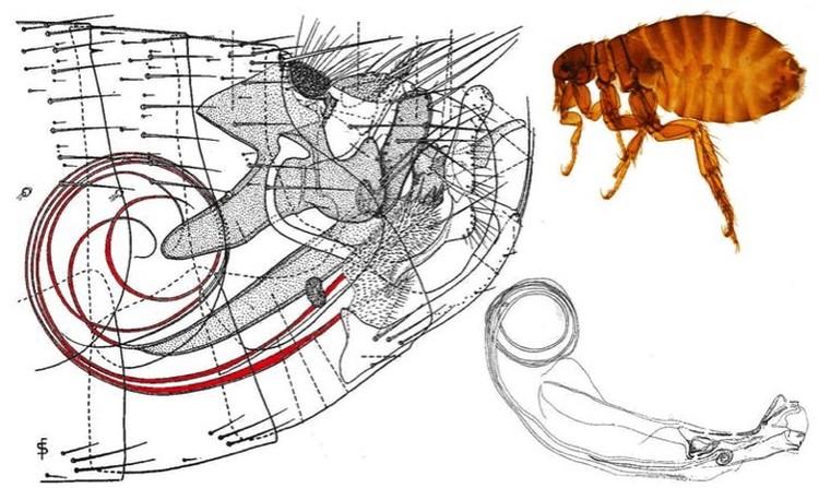 Схема укладки пениса (красная спираль) блохи.