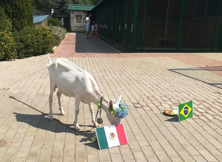К миске с флагом Бразилии Забияка не пошла