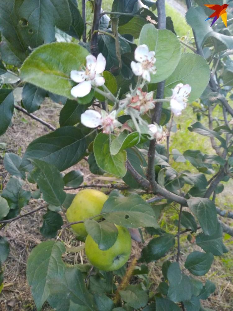 На соседнем деревце рядом и яблоки, и новые цветы. Фото: личный архив