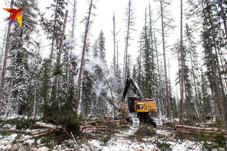 Валка леса в тайге