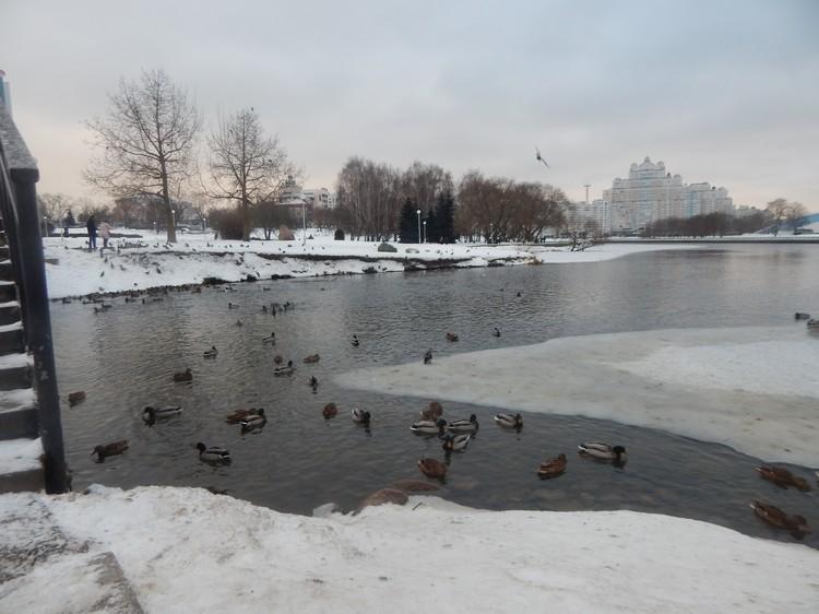 Редкую птицу можно найти на Свислочи за Дворцом спорта. Фото: Александр ВИНЧЕВСКИЙ