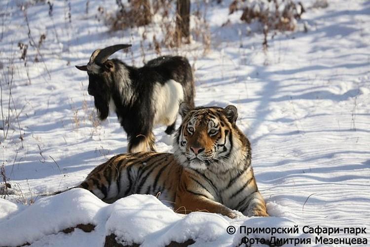 История дружбы козла и тигра в Приморье длилась недолго, но запомнилась многим. Фото: safaripark25.ru