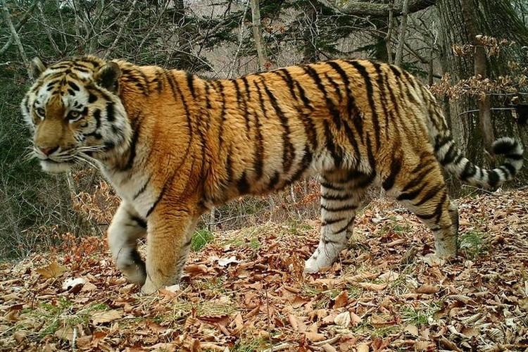 """По человеческим меркам тигру было около 80 лет. Фото: нацпарк """"Земля леопарда"""""""