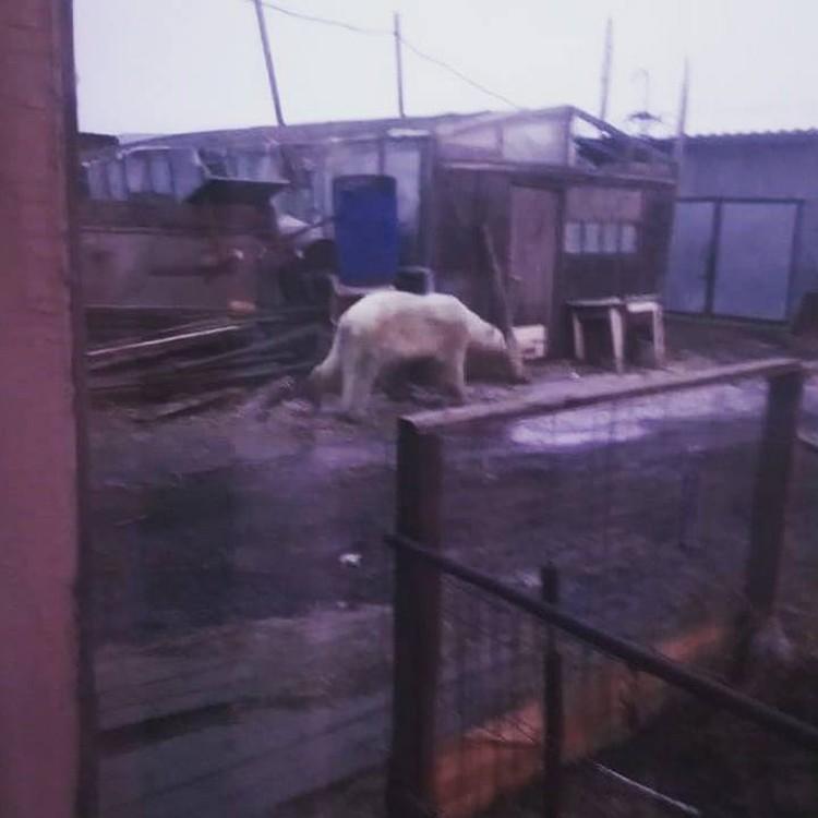 Медведь окреп и начал исследовать села