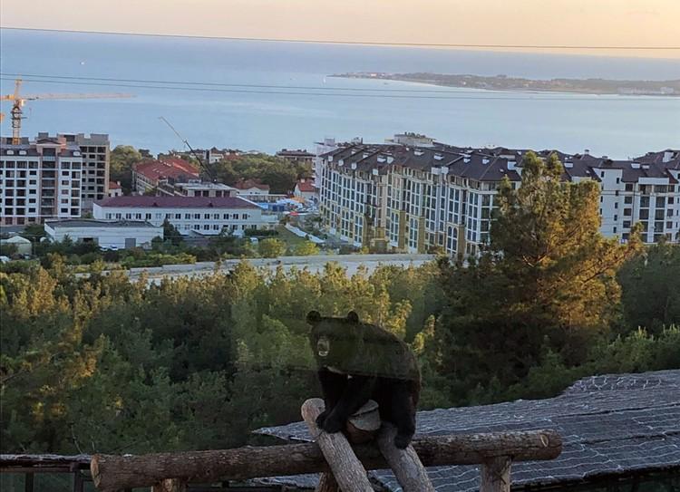 С любовью из Сафари-парка. С высоты своего положения медведи в свободных вольерах облизываются на Геленджик, его жителей и его гостей. Фото Сергей АРЧАКОВ