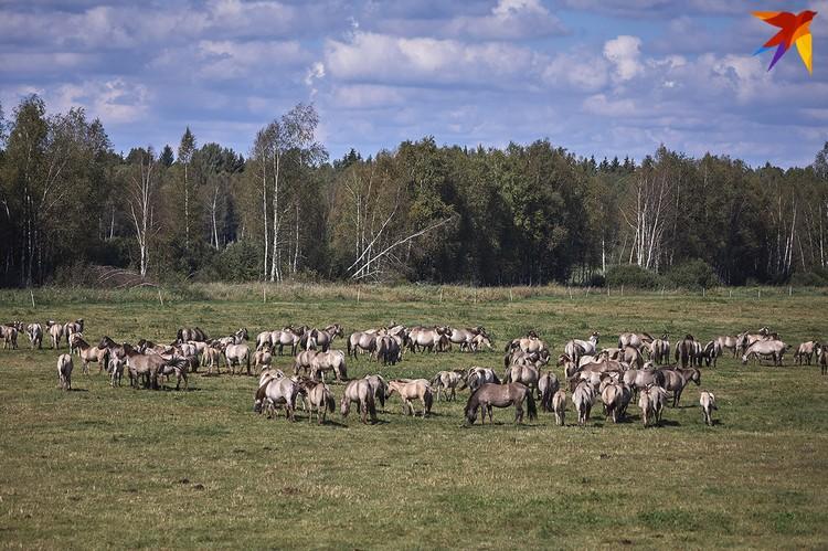 Нидерланды передали заказнику «Налибокский» тарпановидных лошадей.