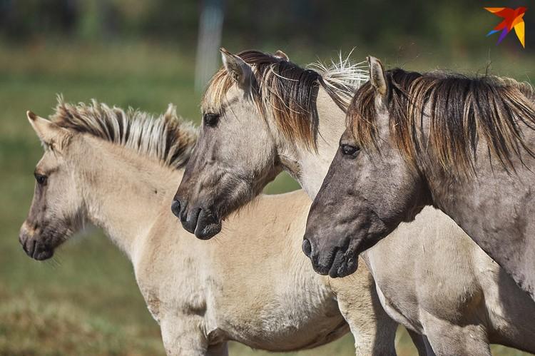 Тарпановидная лошадь очень схожа с диким тарпаном.